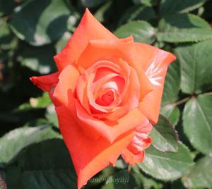 ローラはオレンジ色のバラです