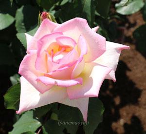 マダムヒデはピンク色の整形バラ