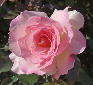 マチルダは丸弁平咲きのバラ