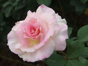 魅惑はハイブリッドティー系統のバラ
