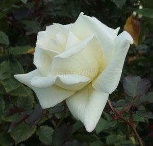 マダムサチは白色のバラ