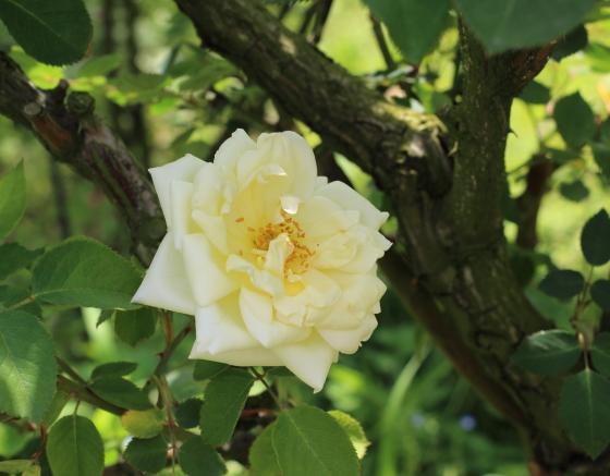 四季咲き性の白バラです