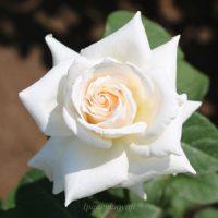 パスカリは白色バラ