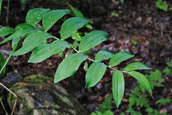 アマドコロは初夏に開花する