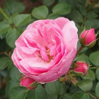 ポンポネッラは濃い桃色のバラ