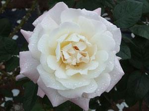 プリスタインは大輪サイズのバラ
