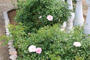 クィーンマザーは小輪で多花性です