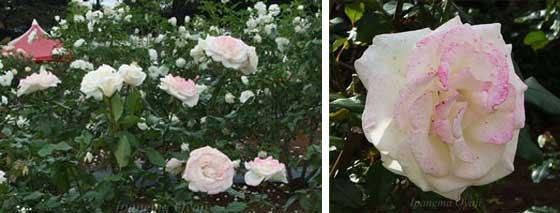 白色バラのアキトの2枚組