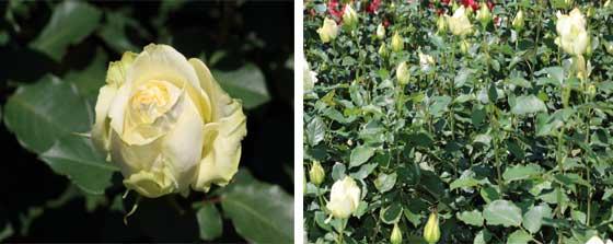エリナはイギリスで作出されたバラ