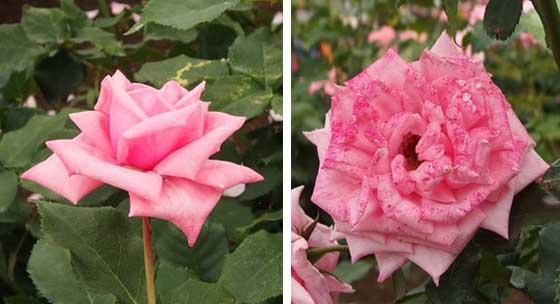 ジーンブーナーはフロリバンダ系の名花