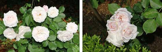花ぼんぼりはフロリバンダ系統