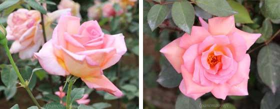 花つきがよくティー香がある