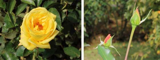 かぐや姫は黄色のバラ