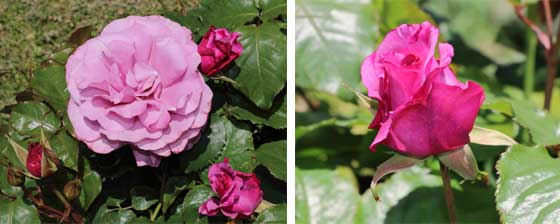 フェルゼン伯爵の2枚組画像