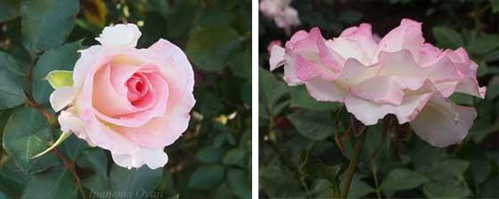 マチルダの2枚組画像