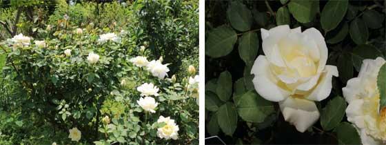 半剣弁高芯咲きの白色バラ