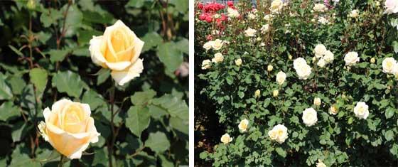 シンプリーへブンは黄色いバラ