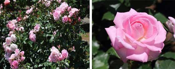 ハイブリッドティー系統のピンク色のバラ