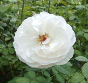 白色の丸弁ロゼット咲きのバラ
