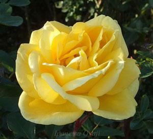 ソレロは中輪サイズのロゼット咲きです