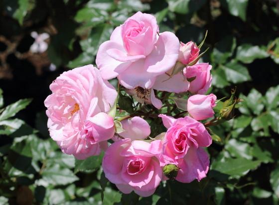 濃いピンク色の丸弁カップ咲き