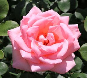 サマーレディはピンク色のバラ