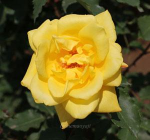 サマーサンシャインは黄色いバラ