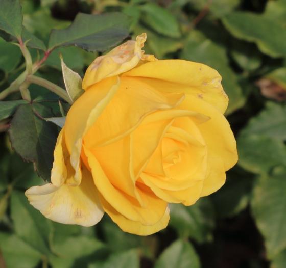 サンガッデスは黄色のバラ
