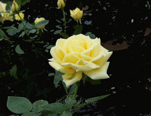 サンシルクは整った花形の剣弁高芯咲き