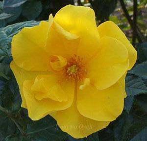 サプライズは純黄色のバラ
