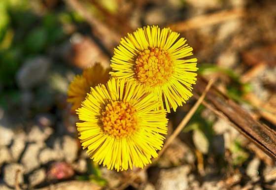 フキタンポポは生薬の款冬花の原料