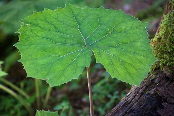 葉はフキの葉に似ている