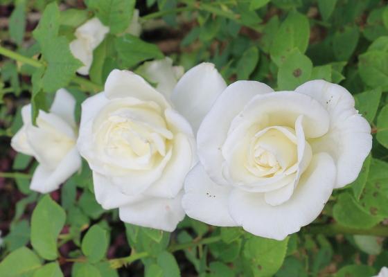 ヴィルゴは白色のバラです