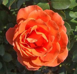 丸弁平咲きでオレンジ色のバラ
