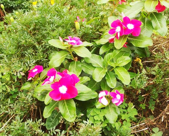 濃いローズ色の草花