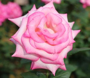 剣弁高芯咲きのバラ