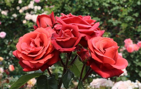 トムブラウンは茶褐色のバラ
