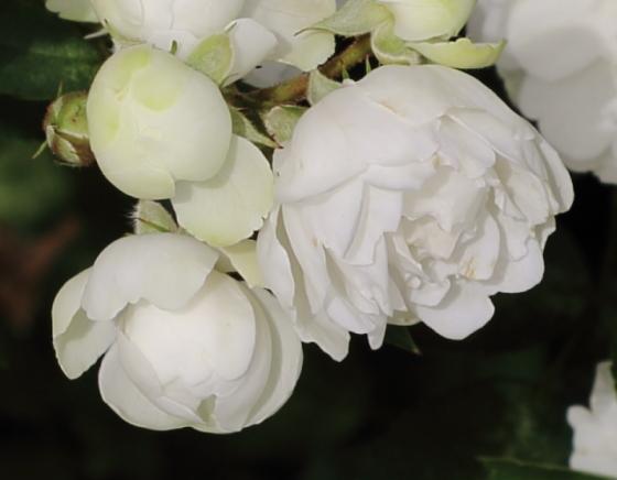 ポリアンサ系統の白色バラ