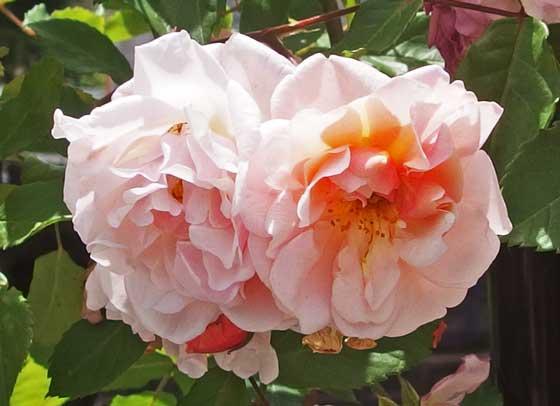 コーネリアはロゼット咲きです