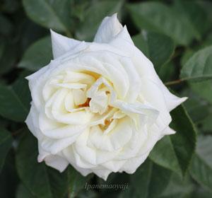 銀嶺は白色バラです