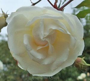 名花ラ・フランスの親とされるバラ