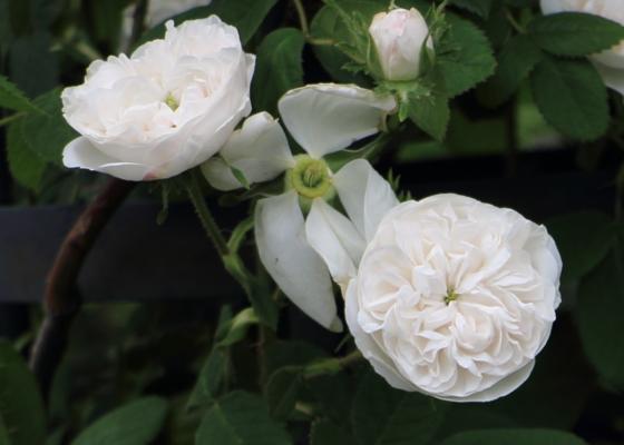 オールドローズの純白のバラ