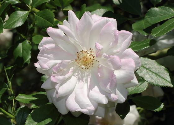 原種の白色バラ