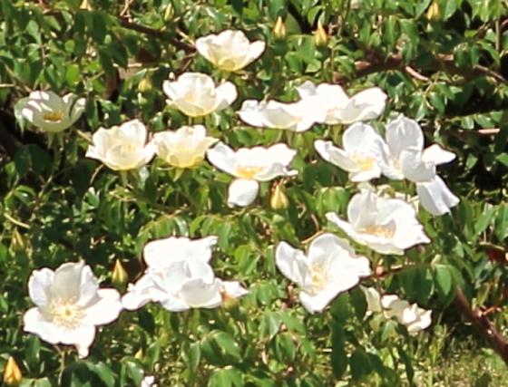 中国原産の原種バラ