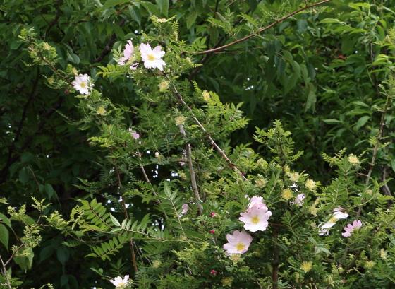 サンショウバラは原種です