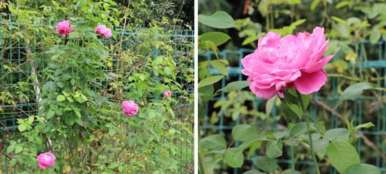 桃色の大輪咲き品種