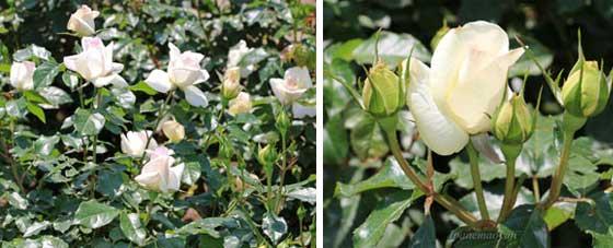 チャイコフスキーは白色のバラ