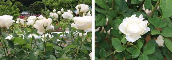 グランディフローラ系統の白色のバラ