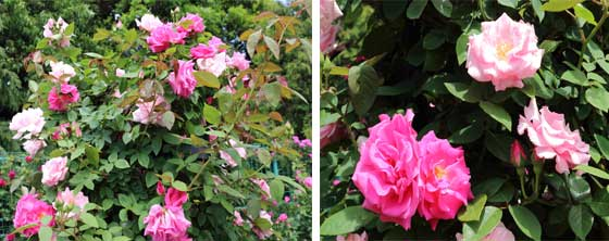 ピンク色の丸弁カップ咲き
