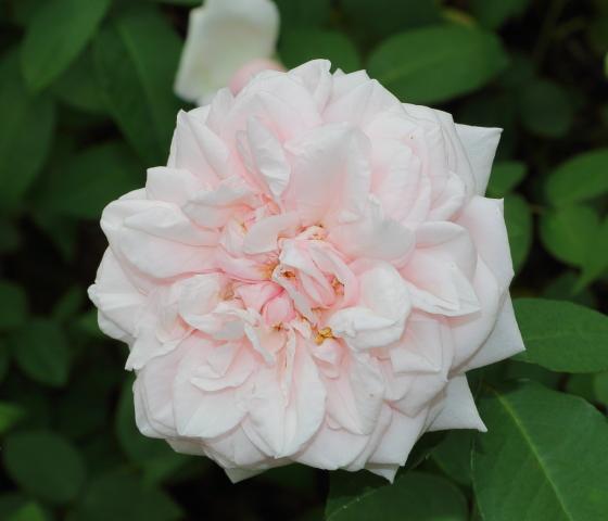 ブルボン系統のバラです